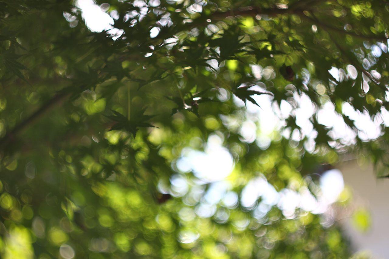 秋 日本 もみじ maple autumn Japan