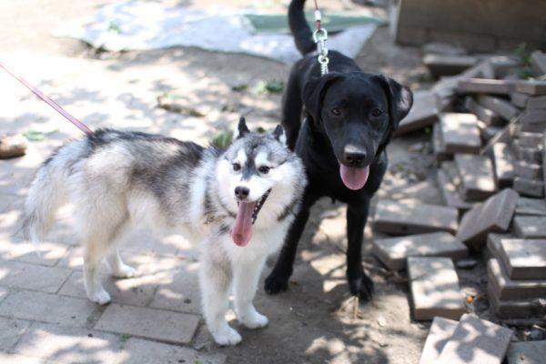 husky and Labrador