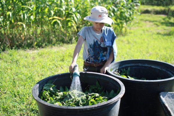 刈り取った藍を茎と葉に分け、葉だけを容器に入れます。井戸水で満たします。