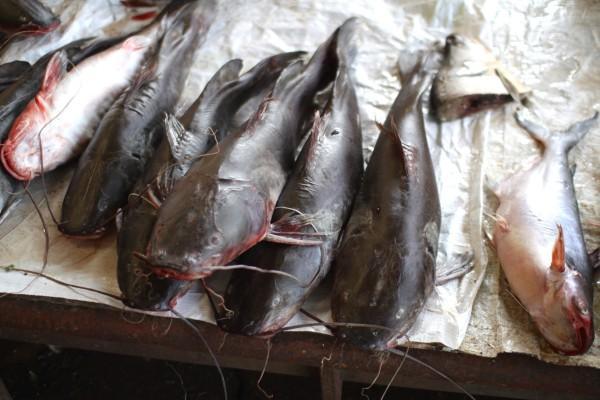 メコンでとれたナマズ catfish, Dao Heuang Market (Morning Market) in Pakse